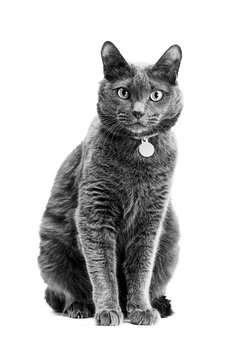 Beautiful gray cat is sitting on a white isolated background.