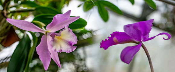 Tuinposter Orchidee cattleya orchid in the glasshouse
