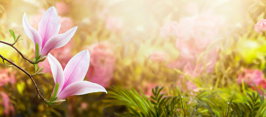 Wall Mural - Mysterious fairy tale spring floral wide panoramic banner with fabulous blooming pink magnolias flower summer garden on blurred sunny bright shiny glowing background and copy space
