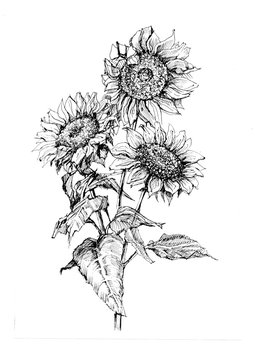 sunflowers flowers graphics hand-drawn realistic separately on a white background elements plants flora bloom spring summer
