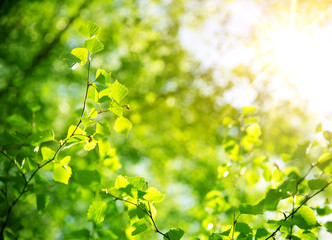 Wall Mural - New birch leaves on green spring background