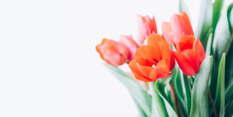 Closeup of red tulip bouquet isolated on white background. Creative spring flower bud frame. Easter...