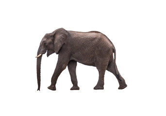 Side view African Elephant walking ,  isolated.