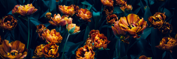 Foto op Canvas Tulp Close up of blooming flowerbeds of amazing orange parrot tulips during spring. Public flower garden, Netherlands. Dark moody photo