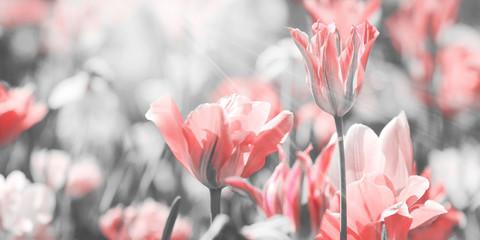 Fotoväggar - tulpen blumen gefärbt konzept