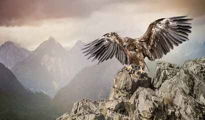 Photo sur Plexiglas Aigle an eagle sits on a stone on mountains background