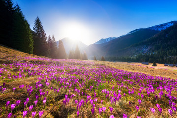 Tuinposter Krokussen Beautiful spring landscape of mountains with crocus flowers