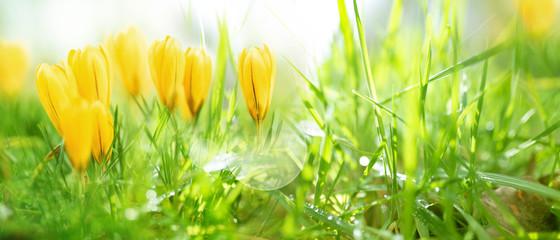 Foto op Canvas Krokussen Crocuses in spring