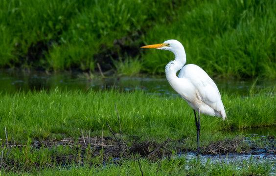 Great egret in Lodi, California