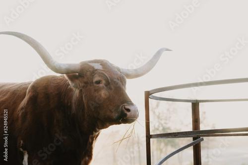 Wall mural Texas longhorn cow by hay ring feeder on farm.