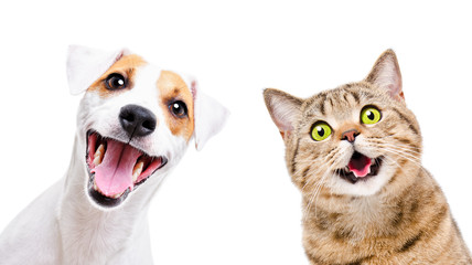 Portrait of  funny dog Jack Russell Terrier and cheerful cat Scottish Straight isolated on white backgroun Fotobehang