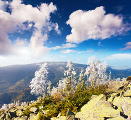 Wall Mural - Bright snow birches on the slope. Location place Carpathian national park, Ukraine.