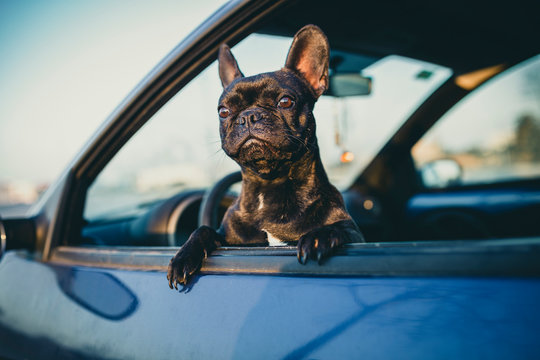 black french bulldog on a car window