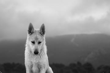 Wall Murals wolf dog
