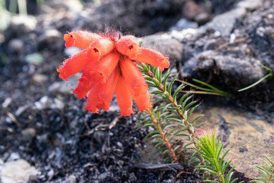 Fire heath Erica cerinthoides flowering after a fire.
