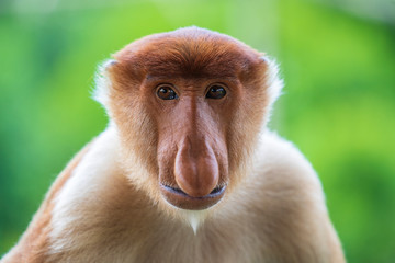 Deurstickers Aap Wild Proboscis monkey or Nasalis larvatus, in rainforest of Borneo, Malaysia