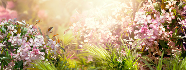 Wall Mural - Mysterious fairy tale spring floral wide panoramic banner with fabulous blooming pink sakura cherry flower summer garden on blurred sunny bright shiny glowing background and copy space