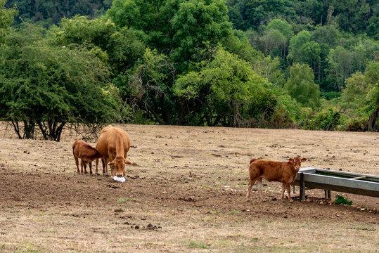 Des veaux et une vache dans une prairie prés d'un abreuvoir en pleine canicule