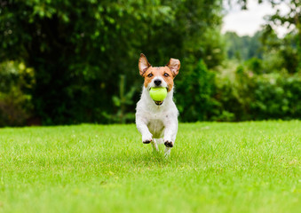 Happy dog actively playing fetch game outdoor on sunny day