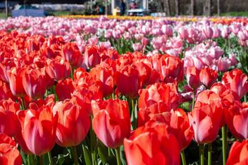 tulipani di Sardegna