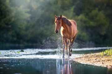 Photo sur cadre textile Chevaux Chestnut horse in river with splash of water