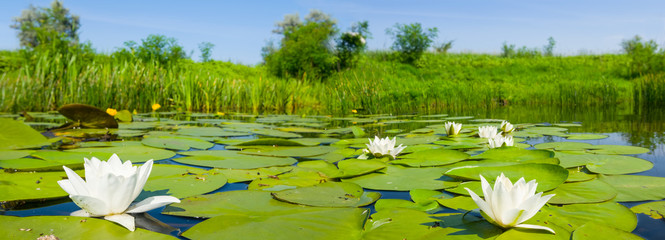 Photo sur cadre textile Nénuphars white water lilies flow on a summer river, wide summer outdoor scene