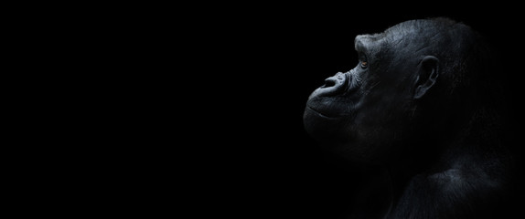 Poster de jardin Singe gorilla on a black background