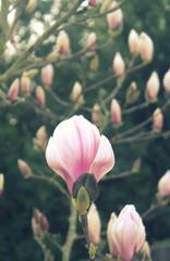 Fotorollo Magnolie magnolia rose en fleurs dans le jardin