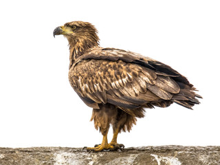 Photo sur Plexiglas Aigle White-tailed eagle on white background