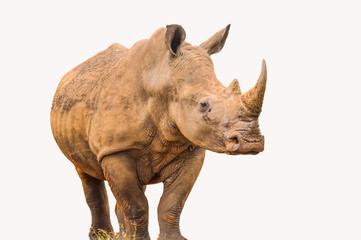 Foto op Aluminium Neushoorn Portrait of a large white Rhinoceros or Rhino isolated on white taken in Kruger park during safari
