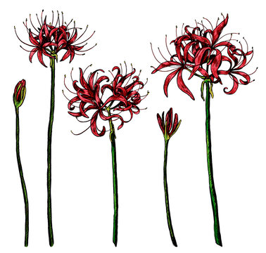 Hand drawn vector illustration. Collection of exotic plants Spider lily. Set of Lycoris flowers. Botanical realistic sketches isolated on white. Colored elements for design, typography, print, poster.