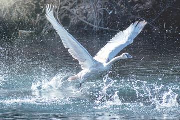 Foto op Canvas Zwaan A trumpeter swan is flying over water