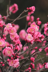 Photo sur Plexiglas Rose banbon pink plum(ume) blossoms in spring