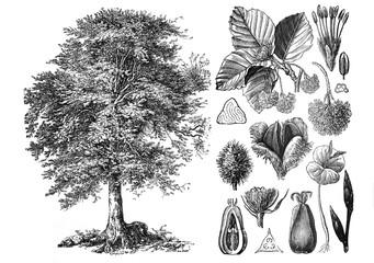 Obraz Common beeach (Fagus sylvatica) Engraved antique illustration from Brockhaus Konversations-Lexikon 1908 - fototapety do salonu