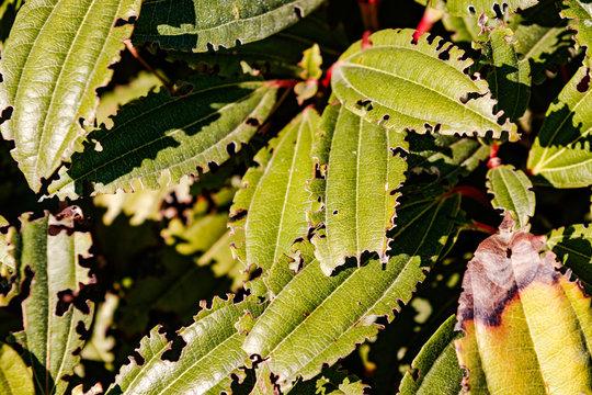 Von Insekten angefressene Blätter im Sonnenlicht