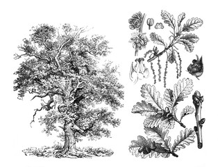 Obraz Sessile oak (Quercus petraea) Engraved antique illustration from Brockhaus Konversations-Lexikon 1908 - fototapety do salonu