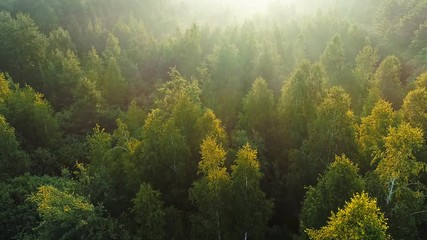 Wall Mural - Morning rays of the sun break through the branches of young spring trees. Aerial shot of green summer forest with fog in sunrise