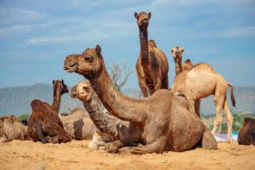 Poster Kameel Camels at the Pushkar Fair Rajasthan, India.