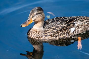 Fototapete - Mallard Duck Swimming in the Refreshing Cool Blue Water