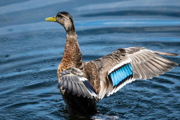 Wall Mural - Mallard Duck Resting on the Cool Water with Wings Outstretched