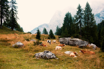A mountainside nature picture of cows resting in a mountain meadow