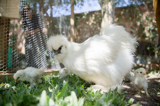 Flock of Newborn Bantam Silkie chickens in a garden