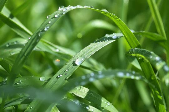 Green wet grass in water drops after rain. Fresh summer plants in sunlight.