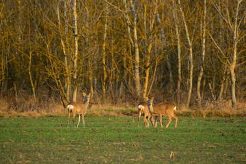 Roe deer - Capreolus capreolus on a meadow