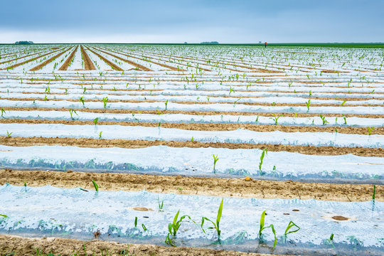 corn cultivation fields in plastic film with young shoots