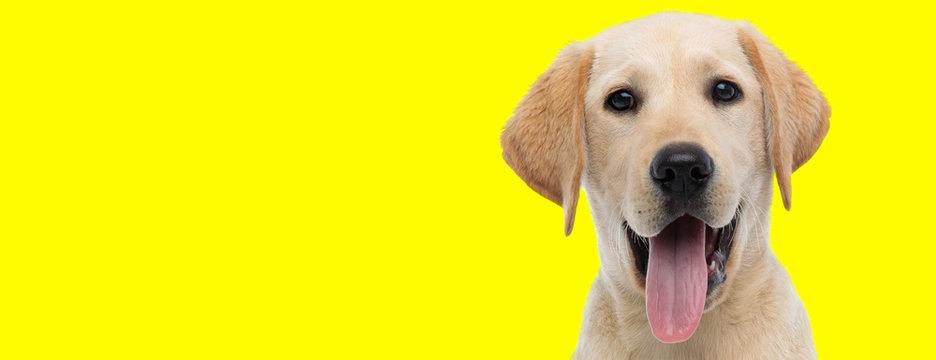 labrador retriever dog with brown fur sticking out tongue happy