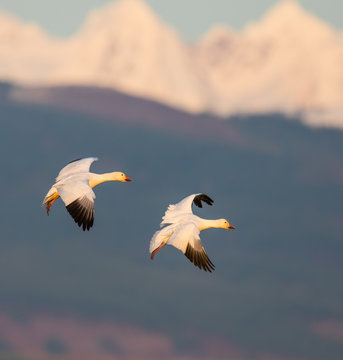 Pair of Adult Snow Geese Landing With Cascade Backdrop