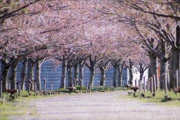 Papiers peints Lavende 桜並木と花吹雪、それに花絨毯