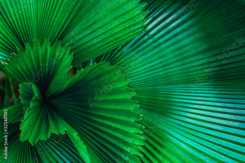 Wall mural tropical palm leaf and shadow, abstract natural green background, dark blue tone