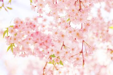 Foto op Textielframe Kersenbloesem 枝垂れ桜